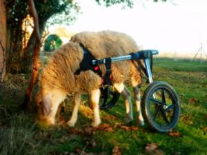 Patty tiene su silla de ruedas leon vegano animales